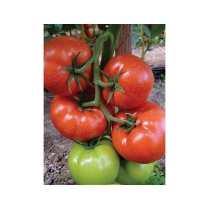 Seminte de tomate Panekra F1