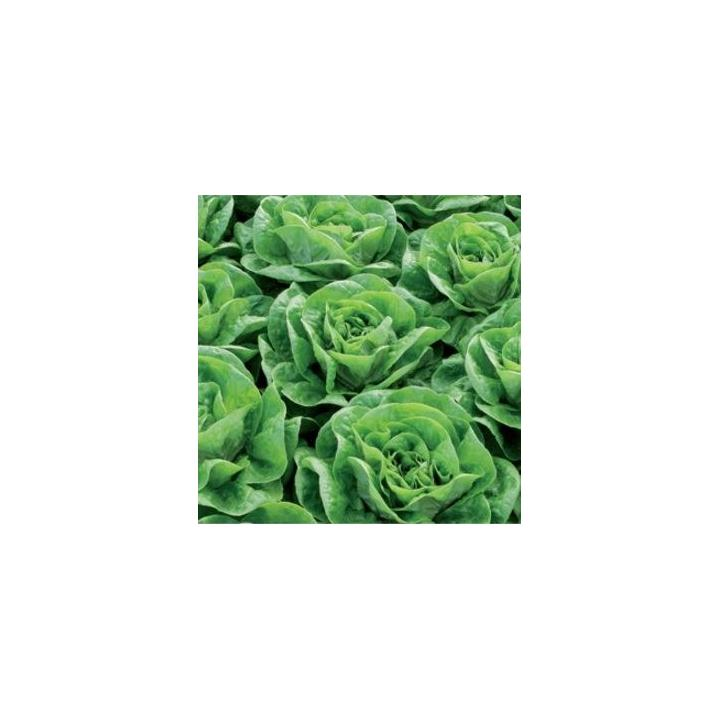 Seminte de salata Bertilo
