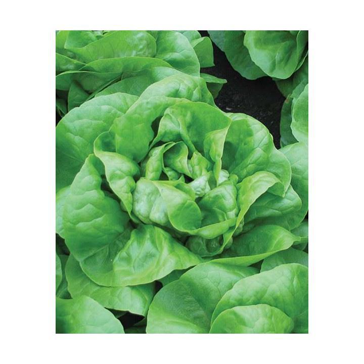 Seminte de salata Mensana