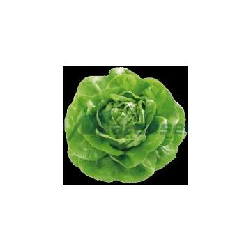 Seminte de salata verde Centore - 5000 seminte