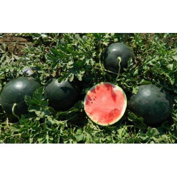 Seminte de pepene verde Romantic F1
