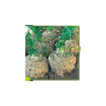 Seminte de telina Diamant F1 - 10000 seminte