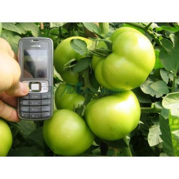 Seminte de tomate nedeterminate Tolin F1 - 500 seminte