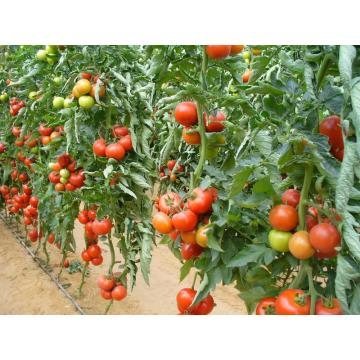 Seminte hibrid de tomate nedeterminate Shirley F1 - 500 buc