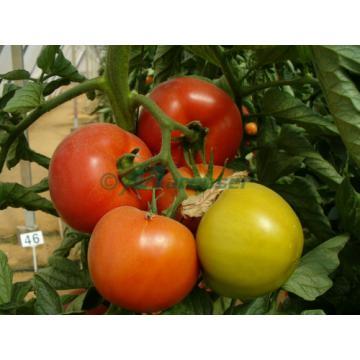 Seminte Hibrid de tomate Rosaliya F1, 500 seminte