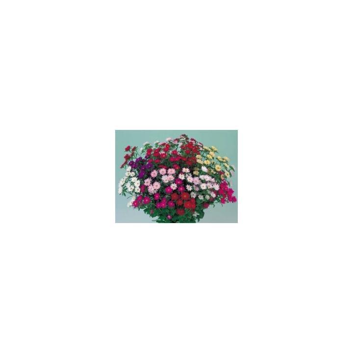 Seminte de flori Callistephus Chinensis Serenade, 2500 buc.