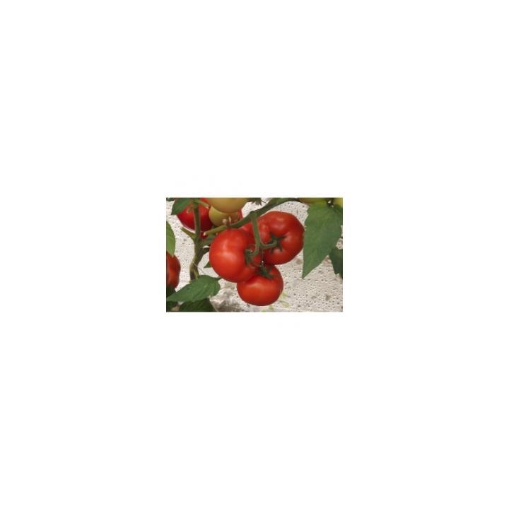 Seminte de tomate Qualitet (500 sem)