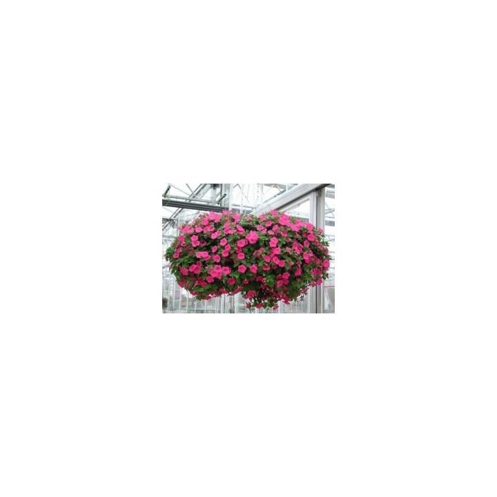 Seminte flori Petunia Grandiflora Pendula Explorer F1