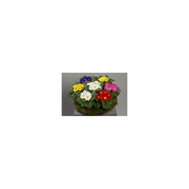 Seminte flori Primula Acaulis Dawn F1, 1000 seminte