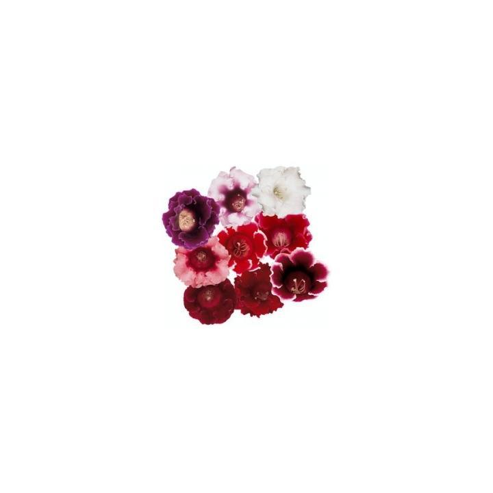 Seminte flori Sinningia (Gloxinia) Speciosa Avanti F1