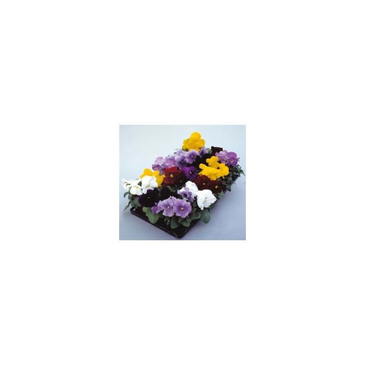 Seminte flori Viola Gigant Dynamite F1, 1000 seminte