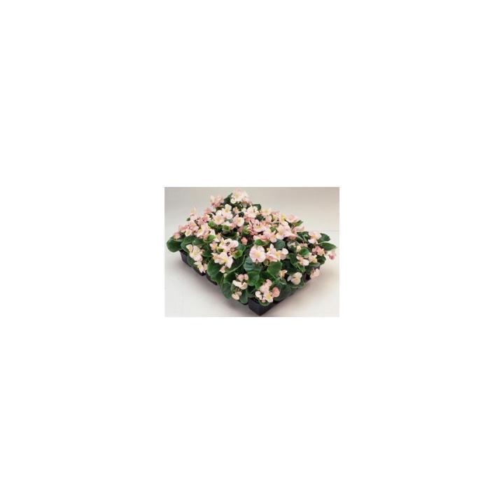Seminte de flori Begonia Semperflorens F1 Ambassador