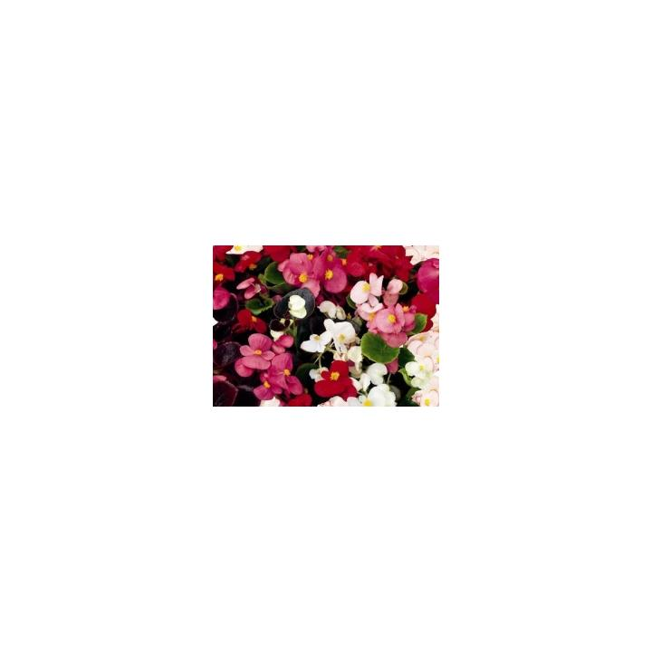 Seminte de flori Begonia Semperflorens F1 President mix