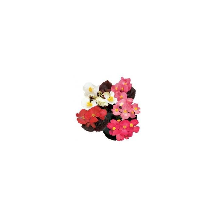 Seminte de flori Begonia Semperflorens F1 Senator