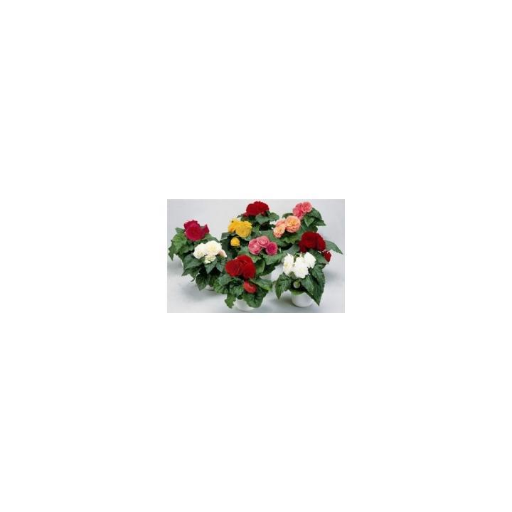Seminte de flori Begonia Tuberhybrida F1 Fortune