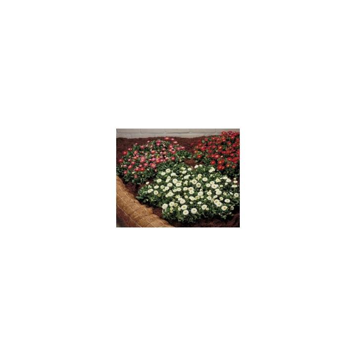 Seminte de flori Bellis Perennis Galaxy, 1000 drajeuri