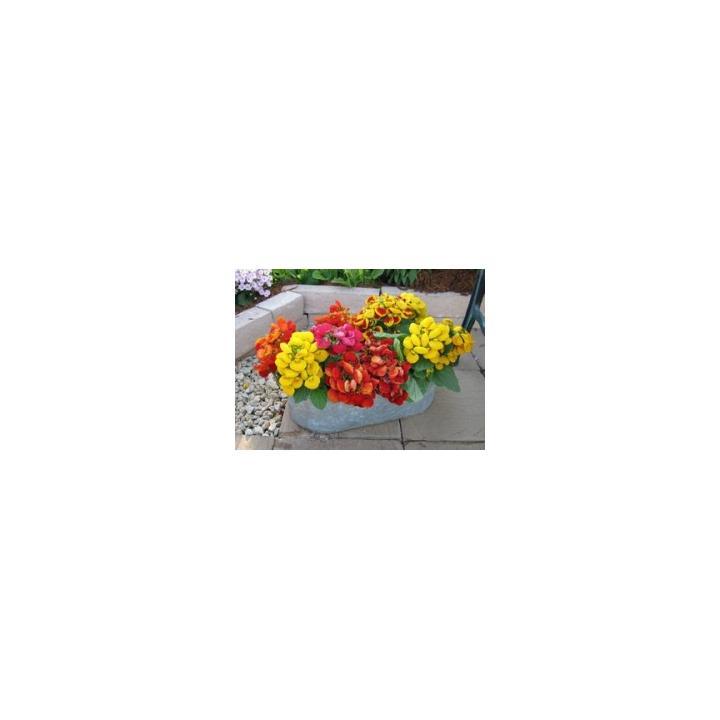 Seminte de flori Calceolaria X Hybrida F1 Dainty