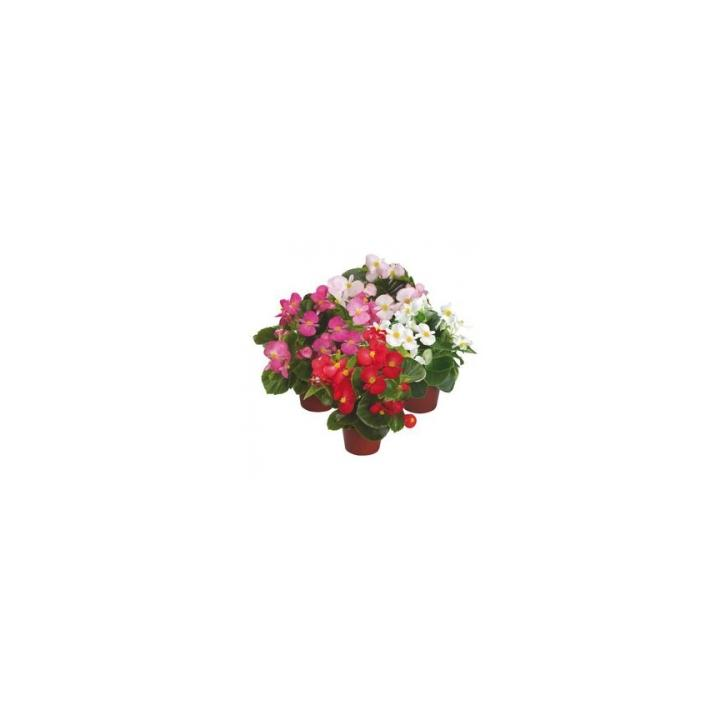 Seminte flori Begonia Semperflorens F1 Emperor, 1000 seminte