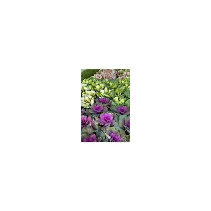 Seminte flori Brassica Olareacea F1 Nagoya, 1000 drajeuri