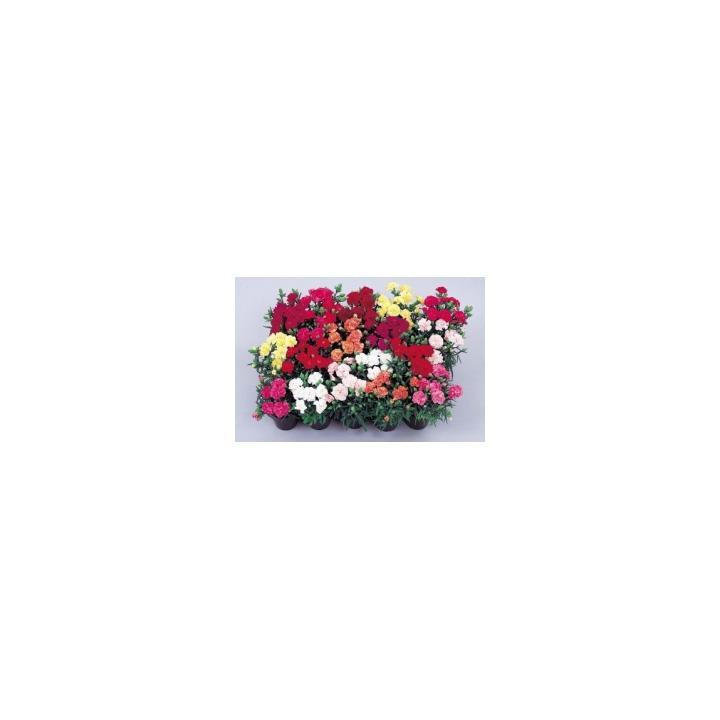 Seminte flori Dianthus Caryophyllus Lillipot, 1000 drajeuri
