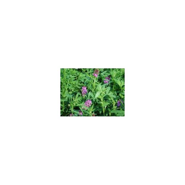 Seminte plante furajere lucerna Pomposa (10 kg)