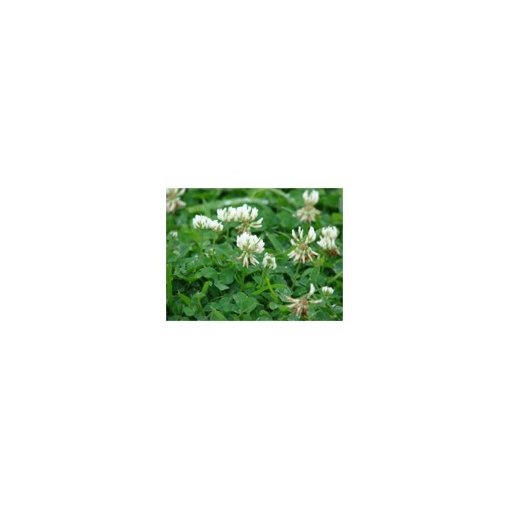 Seminte plante furajere trifoi alb Rivendel (kg)