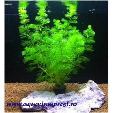 Ghiveci cu planta de acvariu Cabomba Caroliniana
