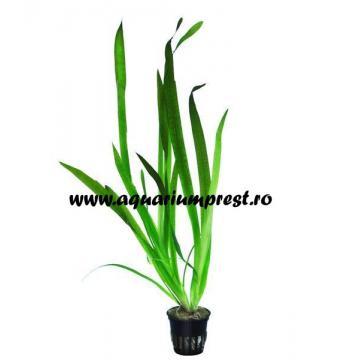 Planta acvariu Vallisneria Gigantea