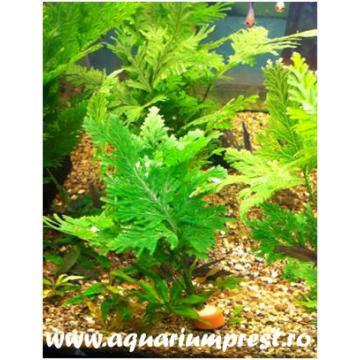 Planta acvatica Selaginella