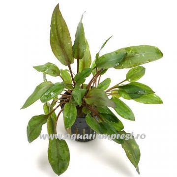 Planta de acvariu Cryptocoryne wendtii
