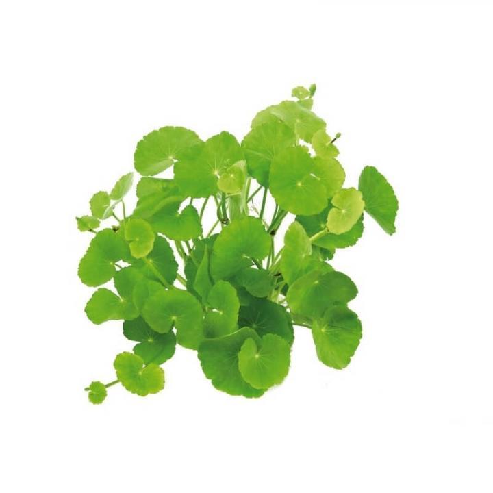 Planta de acvariu Hydrocotyle leucocephala