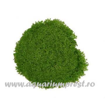 Planta de acvariu Riccia sp. Dwarf