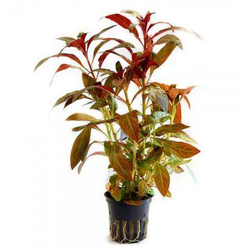 Planta naturala acvariu Ludwigia glandulosa