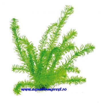 Ghiveci cu planta de acvariu Egeria densa
