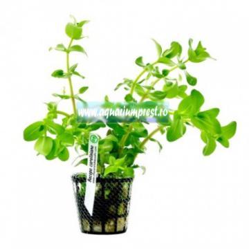Planta de acvariu Bacopa caroliniana