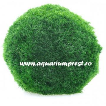 Planta de acvariu Cladophora aegagrophila