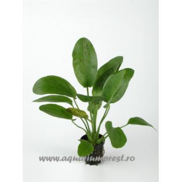 Planta de acvariu Echinodorus Ozelot
