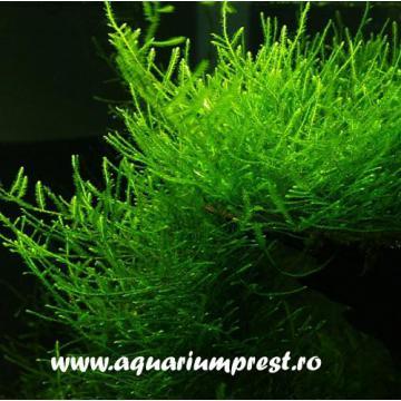 Planta de acvariu Java Moss Vesicularia ferriei