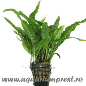 Planta de acvariu Microsorum Pteropus