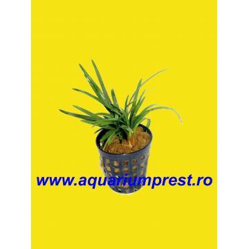 Plante acvaristica Ophiogon japonicum