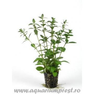 Plante acvariu Hygrophila polysperma