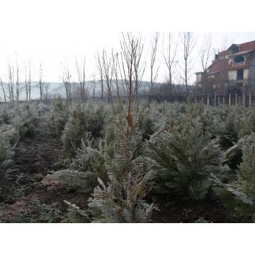 Arbust Tuia orientalis