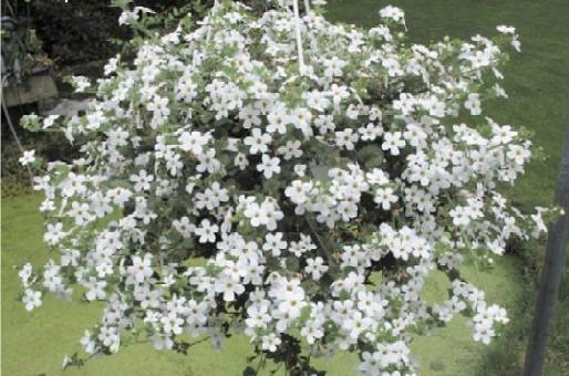 Flori de balcon