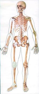 Planse anatomie