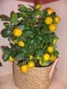 Plante ornamentale Bucuresti